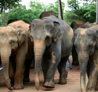 sri lanka voyage elephant